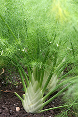 Fennel photo